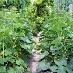 Ha szép tiszta termést szeretnénk, akkor érdemes támasztékokat, kordonokat kialakítani, például az uborkának is.