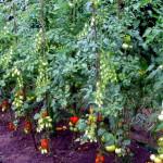 Az általunk előállított, megtermelt zöldség önköltsége néha a bolti tömegáru árszintje fölött van, ezért a célunk a vegyszermentes, minőségi, ásványi anyagokban bővelkedő zöldség és gyümölcs termesztése.