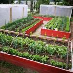 A zöldségeket vegyes ültetésű ágyásokban termesztjük úgy, hogy mire az egyik növény eléri a szüretelési állapotot, addigra a köztes sorban már növekvőben van az utó- vetemény. (Természetesen az egymást jól viselő, egymást védő növények társításával.)